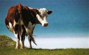cow_2604108b