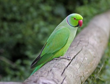 Rose-ringed_Parakeet_RWD