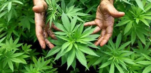 marijuana-plant_1